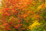 Colorful Fall Foliage of Maple Trees on Taconic Trail, Taconic Trail State Park, Williamstown, MA