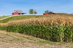 Cornfield and Red Barns in Late Summer, Whitehall, NY