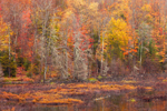 Wetlands in Fall at Whitaker Lake Outlet near Speculator, Adirondack Park, Lake Pleasant, NY
