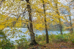 Yellow Birch Trees in Fall along Banks of Big Pond in Catskill Mountains, Catskill Park, Andes, NY