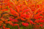Close Up of Staghorn Sumac with Brilliant Autumn Foliage, Royalston, MA