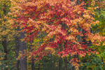 Autumn Colors in Red Maple Tree, Boylston, MA