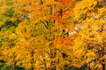 Briliant Foliage in Backlit Sugar Maple Trees, Boylston, MA
