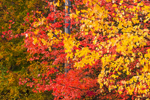 Brilliant Fall Foliage in Red Maple Trees at Wachusett Reservoir, Boylston, MA