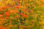 Colorful Sugar Maple Trees in Autumn at Wachusett Reservoir, West Boylston, MA