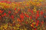 Close Up of Winterberry Shrubs along Moose Brook, Hancock, NH