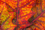 Close-up View of Red Oak Leaves in Autumn, Templeton, MA