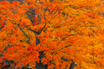 Close-up View of Brilliant Colors of Sugar Maple Tree in Fall, Wachusett Reservoir, West Boylston, MA