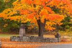 Stone Wall and Sugar Maple Tree in Fall at Wachusett Reservoir, West Boylston, MA