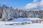Conifer Forest along North Pond after Heavy Snowfall, Whitingham, VT