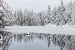 Conifers Reflecting in Headwaters of Moosehorn Brook after Heavy Snowfall, Quabbin Reservation, New Salem, MA