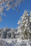 Snow-covered White Pine Trees Bordering Small Pond along East Branch Tully River, Orange, MA