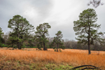 Pine Trees in Field of Dried Grasses, Lonoke County, near Cabot, AR