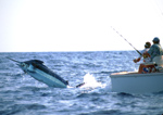 Deckhand releases leader as Pacific Blue Marlin jumps, Kona Coast, Big Island, Hawaii