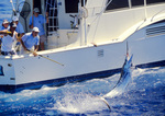 Pacific Blue Marlin tail walks as deckhand retrieves leader