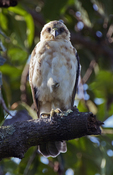 Hawaiian Hawk or I'O, Kona, Big Island, Hawaii