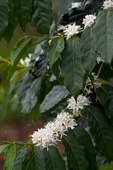 Flowering Kona Coffee tree, Holualoa, Big Island, Hawaii