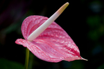 Pink Anthurium, Big Island, Hawaii