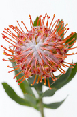 Red Protea, Holualoa, Big Island, Hawaii