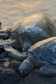 Resting Green Sea Turtles, Anaeho'omalu Bay, Kona Coast, Big Island, Hawaii