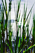 Pond Grass, Waiakauhi, Kona Coast, Big Island, Hawaii