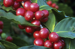 Kona coffee cherries, Holualoa, Big Island, Hawaii