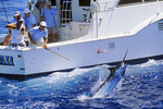 Pacific Blue Marlin Jumps to avoid tagging, Kona Coast, Big Island, Hawaii