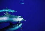 PACIFIC SPOTTED DOLPHINS, KONA COAST, BIG ISLAND, HAWAII