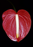 Red anthurium, Holualoa, Big Island, Hawaii