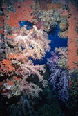 Soft corals in doorway, Shipwrecks of Truk Lagoon, Micronesia