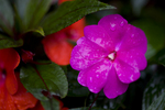 Hawaii, Big Island, Holualoa Purple New Guinea impatiens flowers