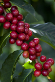"Ripe Kona Coffee ""cherry"", Big Island, Hawaii"