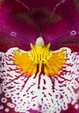 Magenta, orange, & white orchid, Big Island, Hawaii