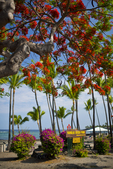 Flowering Royal Poinciana Tree, Kahalu'u Beach Park, Kona Coast, Big Island, Hawaii