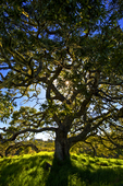 Hawaii, Big Island, Hakalau National Wildlife Refuge, Koa tree portrait