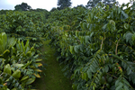 Kona Coffee tree farm, Holualoa, Big Island, Hawaii