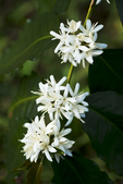 Blooming Kona Coffee Flowers, Holualoa, Big Island, Hawaii