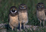 Three Burrowing owls.