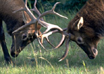 Two bull elks lock horns.