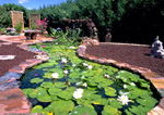 Waterlilies in pond garden.