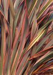 Detail, leaves of Phormium 'Sundowner'.