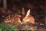 Fawn sleeps in woodland.