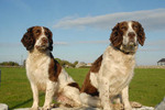 Male Springer Spaniels, County Galway, Ireland 0033