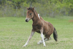 Assateague Pony/Equus caballus