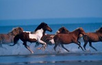 Assateague ponies, race along beach.