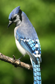 blue jay, Cyanocitta cristata, bird on branch, New Hampshire USA
