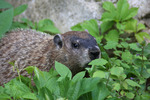 New Hampshire, USA, woodchuck, marmot, groundhog, Marmota monax