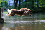 Keene, New Hampshire, USA, golden retriever, PR, dog swimming, fetching, jumping off dock