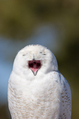 Snowy Owl with eyes closed, beak open.