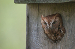 Eastern Screech-Owl/Otus asio pokes out of nesting box.